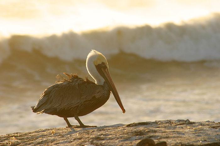 pelican_wave
